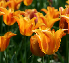 Orange Tulips (j man ) Tags: life birthday lighting flowers friends light orange flower macro green art nature colors beautiful closeup contrast lens happy cool colorful flickr dof tulips blossom bokeh pov background sony details extreme favorites vivid depthoffield pointofview views 60mm closeness tamron rule comments missouribotanicalgardens thirds jman a300 mygearandme