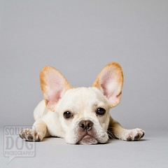 Sigh (Charlie the Cheeky Monkey) Tags: dog puppy ears sigh frenchie frenchbulldog sadface