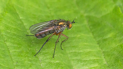 Slankpootvlieg (C-79) Tags: nature insect nederland natuur insects mei insekt insekten noordbrabant 2011 bvl dolichopodidae langbeinfliegen slankpootvlieg 2011051760d01057 dolichopusspec
