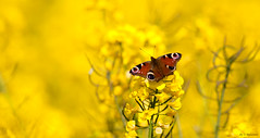 ~Fields Of Gold~ (Eddie The Bugman) Tags: nottingham peacock lepidoptera clifton oilseedrape inachisio canon400mmf56l trentvalleyway canoneos5dmkii edwardnurcombe eddiethebugman