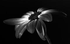B&W MACRO (john m kelly) Tags: flowers blackandwhite macro screws petals flash backlighting
