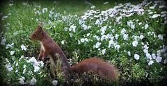 Oops, again Monday.....;-) (SpitMcGee) Tags: friedhof germany squirrel violet köln nrw monday eichhörnchen veilchen montag melaten cremetery