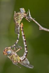 eastern ringtails in copula (robert salinas) Tags: austin texas dragonflies bigma sigma odonata a300 odonates