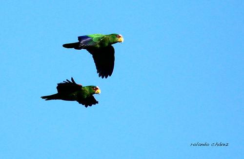 Loro Frentiblanco. White-fronted Parrot. Amazona albifrons.