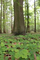 Buchenwald Wildenloh (perspective-OL) Tags: deutschland natur oldenburg umwelt niedersachsen wildenloh buchenwlder schtzt