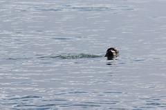 Piccola foca (Le foto di Marietta) Tags: sea iceland mare lagoon jokulsarlon foca islanda