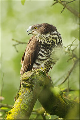Honey (Buzzard) for breakfast.. (hvhe1) Tags: holland bird nature animal garden bravo wildlife thenetherlands raptor birdofprey appletree roofvogel pernisapivorus honeybuzzard specanimal hvhe1 hennievanheerden wespendief avianexcellence