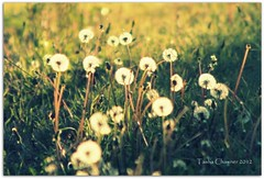 Dandelions in May (Tasha Chawner) Tags: weeds dandelion afternoonglow goldenhourphotography