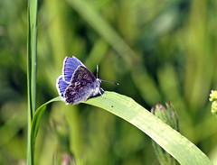 Common Blue (Mr Grimesdale) Tags: commonblue stevewallace britishbutterflies mrgrimesdale elitebug