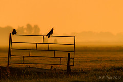 The crows... (Marcel Tuit) Tags: mist holland bird me nature fog rural sunrise canon landscape eos golden nederland thenetherlands silhouettes natuur hour 7d crow carrion polder alblasserwaard vogel silhouet landschap kraai corvuscorone zwartekraai marceltuit