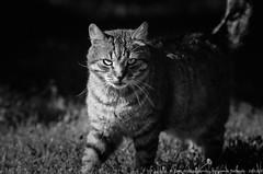 Cat : Nikon D7000 : Sigma 70 200 HSM II (Benjamin Ballande) Tags: cat nikon sigma ii 200 70 hsm d7000