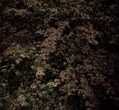 (spratpics) Tags: night blossom may spooky hawthorn northeastengland spookymagic teessideengland artworkbypaulwalker spookyartworkandphotographybypaulwalker