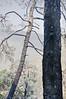 A Pine Tree – Singed by the fire – More Fires in the Himalayas – Dagshai HIlls (Anoop Negi) Tags: road trees portrait india tree pine photography for photo media delhi indian bangalore creative best burning needle indie po needles mumbai indien cones inde rajghat インド 印度 índia הודו 인도 độ intia الهند salogra ấn هندوستان индия індія بھارت индија อินเดีย jjournalism ינדיאַ ãndia بھارتấnđộינדיאַ indiã