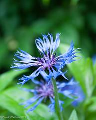Sparkling Blue (David S Wilson) Tags: uk blue party england green wet floral garden jubilee lincolnshire damp 2012 cornflowers nikond90 beesby june2012 davidswilson