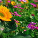 Sunflower  (10)