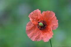 Klatschmohn (Papaver rhoeas) (hellboy2503) Tags: portrait flower macro rot bird nature animal canon photography photo natur images portrt 7d getty grn creature blume makro blte 70200 tier vogel gettyimages jrg stempel kreatur nektar mohn stengel klatschmohn thegalaxy gettyimagescallforartists gettyimagesartistpicks hellboy2503 rememberthatmomentlevel4 rememberthatmomentlevel1 rememberthatmomentlevel2 rememberthatmomentlevel3 rememberthatmomentlevel7 rememberthatmomentlevel9 rememberthatmomentlevel5 rememberthatmomentlevel6 rememberthatmomentlevel8
