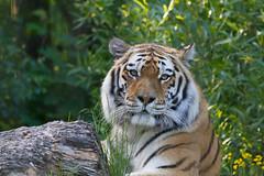 Tiger på Högholmen