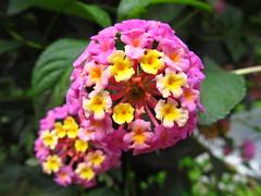 Wandelrschen ( Lantana camara ) (hubertchen) Tags: pink flowers flower macro natur pflanze rosa gelb bloom grn blume bodensee blte bltter blten lakeconstance rosengewchs