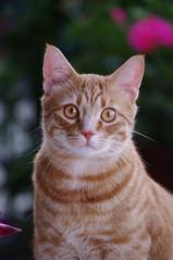 Napoleone front view (drugodragodiego) Tags: portrait cats pentax felini ritratto gatti animali mici pentax55300 pentaxkr