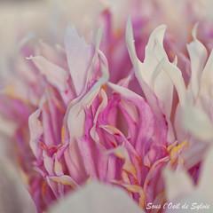 Pivoine Do Tell (Sous l'Oeil de Sylvie) Tags: pink flowers white macro fleur june rose juin spring heart pentax coeur stgeorges qubec blanc printemps 2012 beauce tamron90mm pivoine k7 clmatite jardinpriv sousloeildesylvie pivoinedotell