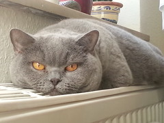 karina (akoller63) Tags: cat eyes chat yeux sleepy mde tired katze augen lil