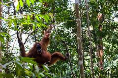 Ratna 4789 (Ursula in Aus (Resting - Away)) Tags: animal sumatra indonesia unesco orangutan ape greatape bukitlawang ratna gunungleusernationalpark earthasia