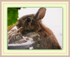 Easter Bunny (bigbrowneyez) Tags: cute rabbit window beautiful animal easter outside furry sweet adorable natura hungry ida easterbunny auguri mycousin pasqua coniglio bello happyeaster bellissimo coniglietto bestwishes wildrabbit buonapasqua fenestra nsture