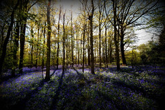surrey woodland (frisar1) Tags: