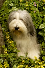 52-16 My Storybook Dog (Debbie G) Tags: portrait dog beardie beardedcollie baggins 52weeksfordogs