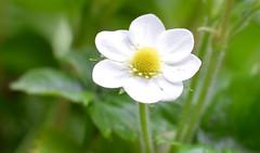Seven petalled Strawberry Flower (brown.thalia) Tags: flower garden spring somerset seven pollen strawberryflower