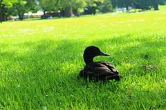 On the lawn (Nathalie_Dsire) Tags: summer color colour bird nature colors grass animal duck spring colours stuttgart schlossgarten