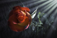 Perfect Moment (grbenson3) Tags: flowers roses sunrays yardflowers