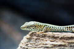 I'm watching you (foveras13) Tags: green rock closeup island greek nikon lizard greece andros cyclades d5200