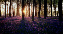 Kings Wood Bluebells ( Strange_Photography) Tags: pink blue trees bluebells forest sunrise early woods warm purple