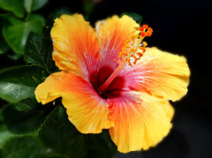 Tropical Beauty. (Through Serena's Lens) Tags: red orange leaves yellow closeup colorful hibiscus multicolored pinkish tropicalflower