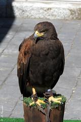 012378 - Ave (M.Peinado) Tags: copyright espaa animal fauna canon spain aves mercado ave animales mercadomedieval castillaylen 2016 laadrada canonpowershotsx60hs 01052016 mayode2016 xivmercadomedieval