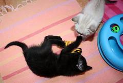 Gata Pucca (18) (adopcionesfelinasvalencia) Tags: gata pucca