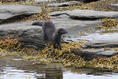IMG_3166 Isle of Mull Mink (Photos-Tony Wright) Tags: wild nature animal scotland wildlife may mink isleofmull predator mull 2016 pennyghael
