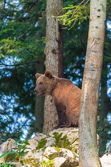 Brown bear 8 - Slovenia (Sinar84 - www.captures.ch) Tags: 2016 animal bear black blue brown brownbear cliff europa juni karst kocevska notranjska notranjskaregionalpark orange red rock slovenia slovenianbearscom summer trees white