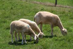 Good first year (baalands) Tags: summer grass hair twins sheep pasture lambs dairy grazing katahdin ewe yearling crossbred lacaune