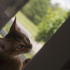 Fly Catchers 6 (peter_hasselbom) Tags: cats game window cat 50mm kitten play naturallight kittens usual abyssinian windowsill tuff ruddy 19weeksold huntingflies