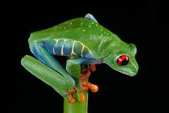 Red-Eyed Tree Frog, CaptiveLight, Bournemouth, UK (rmk2112rmk) Tags: uk macro amphibian frog bournemouth treefrog herps agalychniscallidryas redeyedtreefrog captivelight