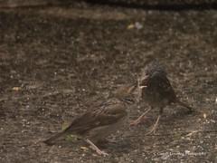 Feeding time in the Wind & Rain4 (Gareth Lovering Photography 3,000,594 views.) Tags: birds garden feeding wildlife feeder starling olympus sparrow 75300mm lovering em1 garethloveringphotography