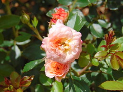 Cluster of Apricot Roses (beckyj351) Tags: love rose apricot