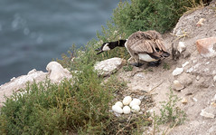 Taking a Break (Rick Derevan) Tags: california bird goose canadagoose brantacanadensis