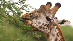 21 June - World Giraffe Day (AnyMotion) Tags: africa travel portrait nature animal animals tongue tanzania tiere reisen feeding wildlife natur portrt afrika giraffe zunge tansania 2015 giraffacamelopardalis tarangirenationalpark anymotion 7d2 portraitaufnahmen fressend canoneos7dmarkii