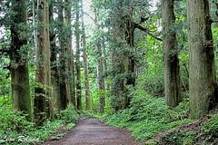Hakone (leon_roland) Tags: japan hakone cedars kanagawaken ashigarashimogun oattour