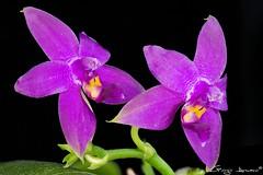 Phalaenopsis Violacea (Giorgio Armano) Tags: phalaenopsis orchid orchidea orchids orchidee fiore focus flower fiori violacea nikon macro helicon