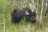 Cors Dyfi Water Buffalo (GMR Photographs) Tags: plants wales wildlife bufallo dyfi