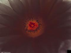 Notocactus Ottonis: quasi una fucina (Paolo Bonassin) Tags: flowers cactus cactaceae succulente cactacee notocactusottonis